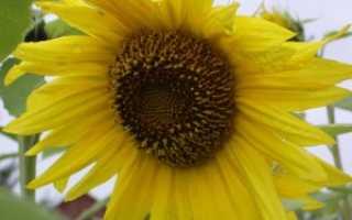 Подсолнечник — солнечный цветок