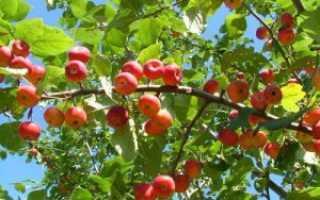 Что такое яблоки ранетки: как их вырастить у себя на участке