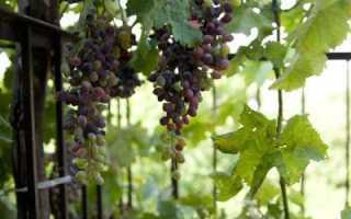 Виноград: выращивание из косточек в домашних условиях, особенности ухода