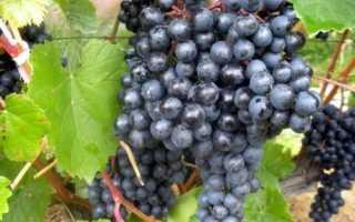 Сорта виноград в сибири: суперранние, с описанием
