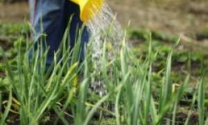 Как часто поливать лук и чеснок в открытом грунте