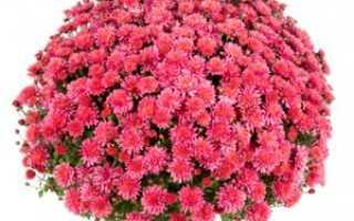 Зимнее хранение хризантемы мультифлора: как подготовить и сохранить растение