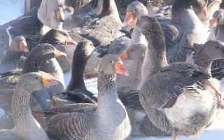 Ландские гуси: история, внешний вид, нюансы содержания