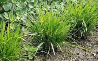 Чуфа (земляной миндаль): посадка и уход, описание, выращивание и применение