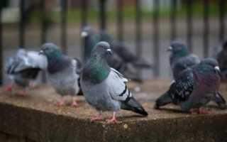 Как отвадить голубей от балкона? Чем балкон привлекает голубя?