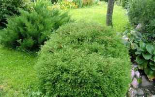 Вечнозеленые хвойные деревья и кустарники