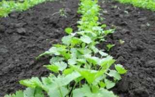 Особенности посадки петрушки весной в открытый грунт