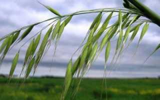 Методы защиты яровой пшеницы от овсюга обыкновенного