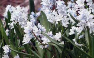 Пушкиния: посадка и уход за цветком в открытом грунте