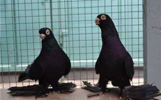 Армавирские голуби: описание и основные характеристики