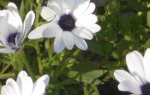 Арктотис: выращивание и уход в открытом грунте, РАСТЮНЬКА