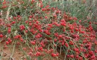 Эфедра (трава) – полезные свойства и применение эфедры, экстракт эфедры