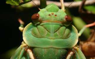 Певчие цикады: описание насекомого, среда обитания, питание, жизненный цикл
