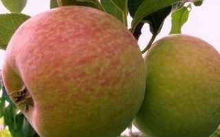 Яблони Конфетное: описание сорта, преимущества и недостатки