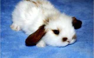 Породы декоративных кроликов, уход за ними и кормление в домашних условиях
