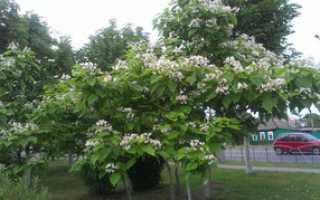 Особенности выращивания катальпы: прекрасной, бигнониевидной и великолепной, посадка и уход за деревом