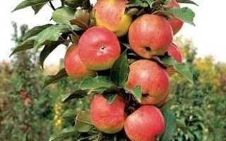 Яблоня колоновидная Васюган — описание сорта с фото, отзывы