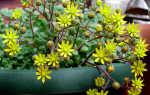 Дерево любви: общее описание растения, выращивание и уход за аихризоном в домашних условиях