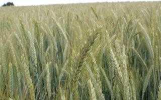 Концентрированные корма: назначение, состав, питательность, виды и требования к качеству