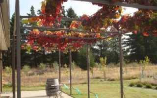 Виноград Багровый: описание сорта, урожайность, выращивание и отзывы