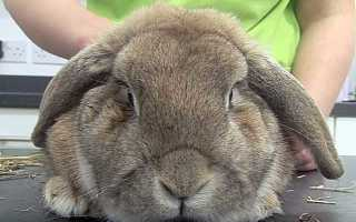 Температура тела кролика, как померить температуру кролику (фото)