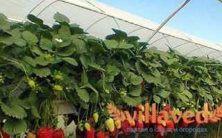 Выращивание клубники в теплице круглый год как бизнес, советы и фото