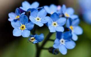 Незабудка лесная: описание, распространение, особенности выращивания
