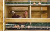 Чертежи клетки для кур-несушек своими руками: изготовление по размерам