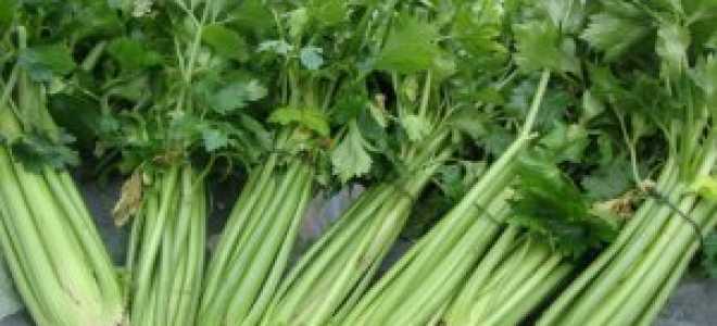 Заготовка корневого, черешкового и листового сельдерея на зиму