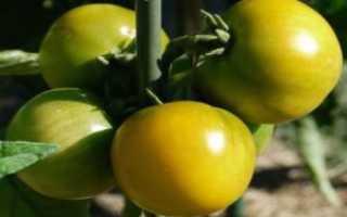 Томат Сахарный бизон (Вождь краснокожих): характеристика и описание сорта, урожайность с фото