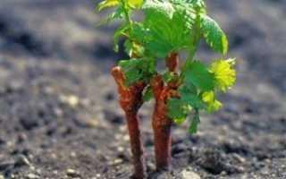 Посадка винограда осенью саженцами: практические советы