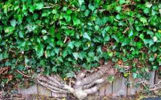 Размножение плюща: особенности процедуры черенками и семенами