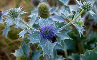 Синеголовник – посадка и уход в открытом грунте