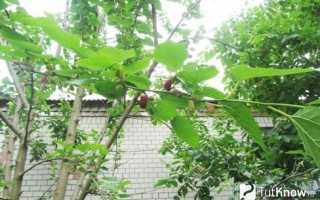 Выращивание шелковицы и уход за деревом