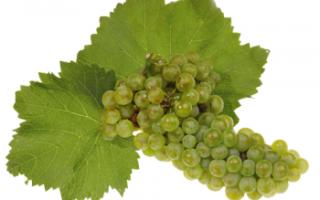 Виноград Шардоне – описание сорта с фото; полезные свойства, вред, противопоказания