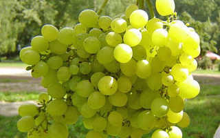 Виноград на Урале — посадка, выращивание, осенняя обрезка, укрытие на зиму, обработка летом видео