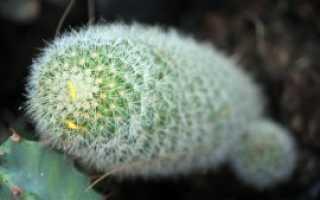 Вредители кактусов и способы борьбы с ними