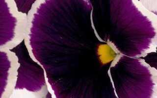 Вредители анютиных глазок и борьба с ними советы и рекомендации по уходу для садоводов