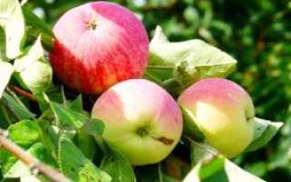 Особенности посадки и ухода за яблоней сорта — Мельба