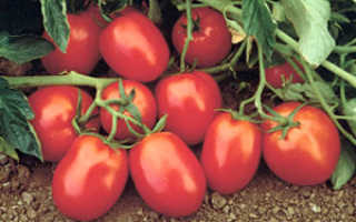 Лучшие сорта томатов для Сибири: для теплицы, семена для открытого грунта, фото томатов