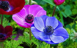 Цветок ветреница: виды анемон и особенности выращивания этих растений