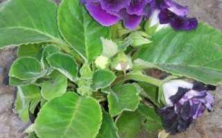 Глоксиния — болезни листьев и лечение, применение инсектицидов, видео