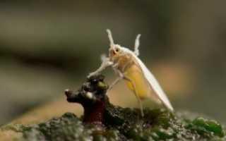 Как избавиться от белокрылки: лучшие методы борьбы с насекомым-вредителем
