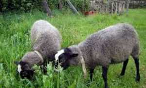 Овцы романовской породы: размножение и содержание
