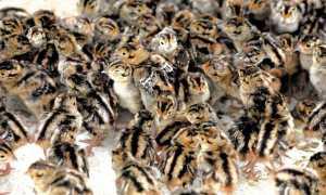 Кормление фазанов в домашних условиях: нормы и рацион питания