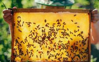 Вывод пчелиных маток: календарь, способы