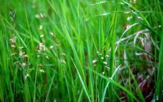 Зубровка (трава): полезные свойства и противопоказания