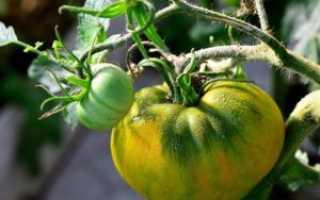 Томат Черный мавр: характеристика и описание сорта, урожайность и выращивание с фото