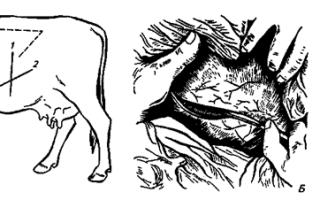 Кесарево сечение у коровы