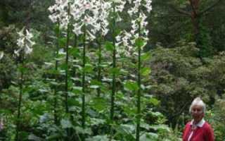 Кардиокринум (гигантские лилии) — необычное растение для вашего сада
